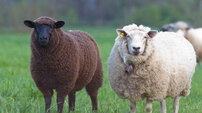 Får- och getregistrets kundtjänst tar emot beställningar av öronmärken till får och getter samt händelseanmälningar.