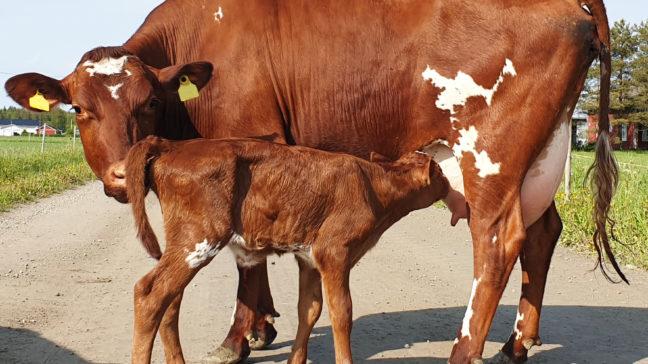 Maidontuotantomoduuli tarjoaa tuotosseurantaan kuuluville tiloille monipuolisen työvälineen lehmien tilanteen ajantasaiseen seurantaan.