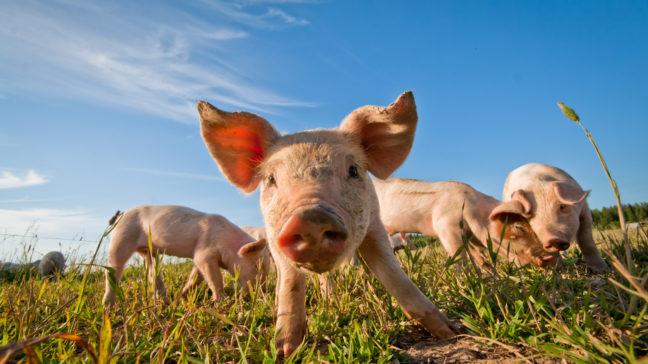 Svinregistrets kundtjänst tar emot svinens köp-, försäljnings- och flyttningshändelser samt djurmängduppgifter.