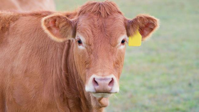 PTLink on maksuton, helppo ja nopea palvelu Paimion teurastamon tuottajille, jotka käyttävät Minun Maatilani -nautaohjelmistoa.